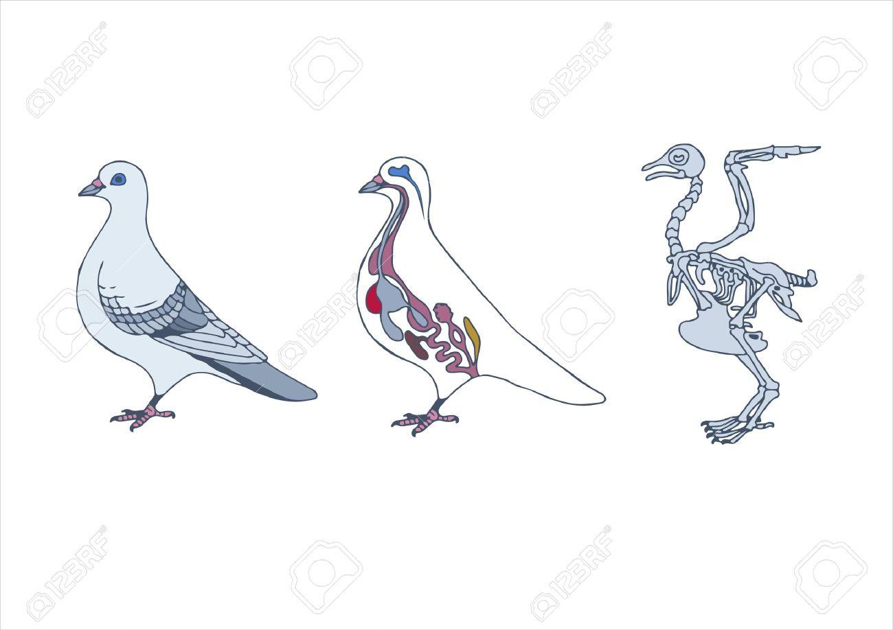 Zoología, La Anatomía De Las Aves, La Sección Transversal Y El ...