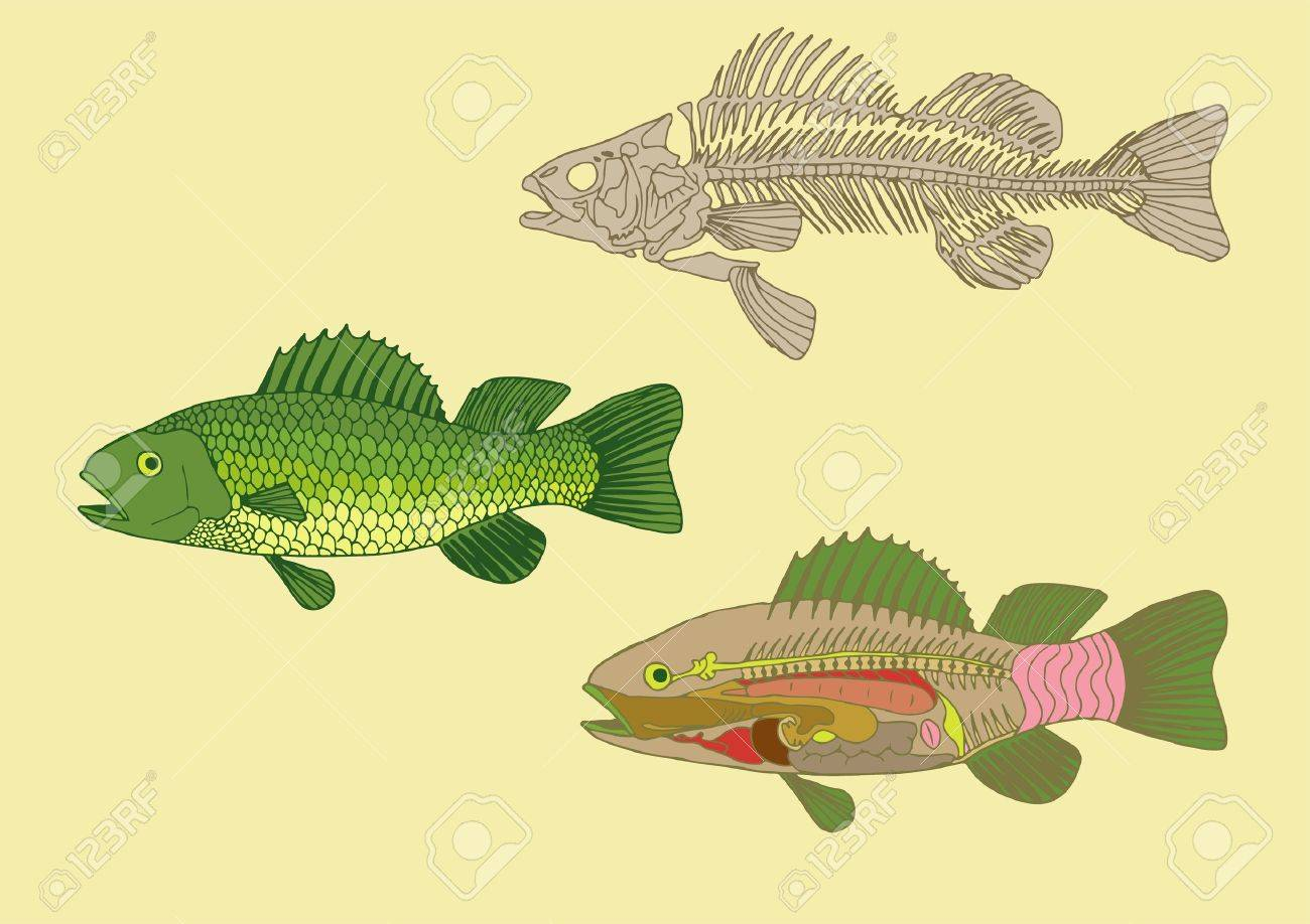 zoology, anatomy of fish , cross-section and skeleton Stock Vector - 15469655