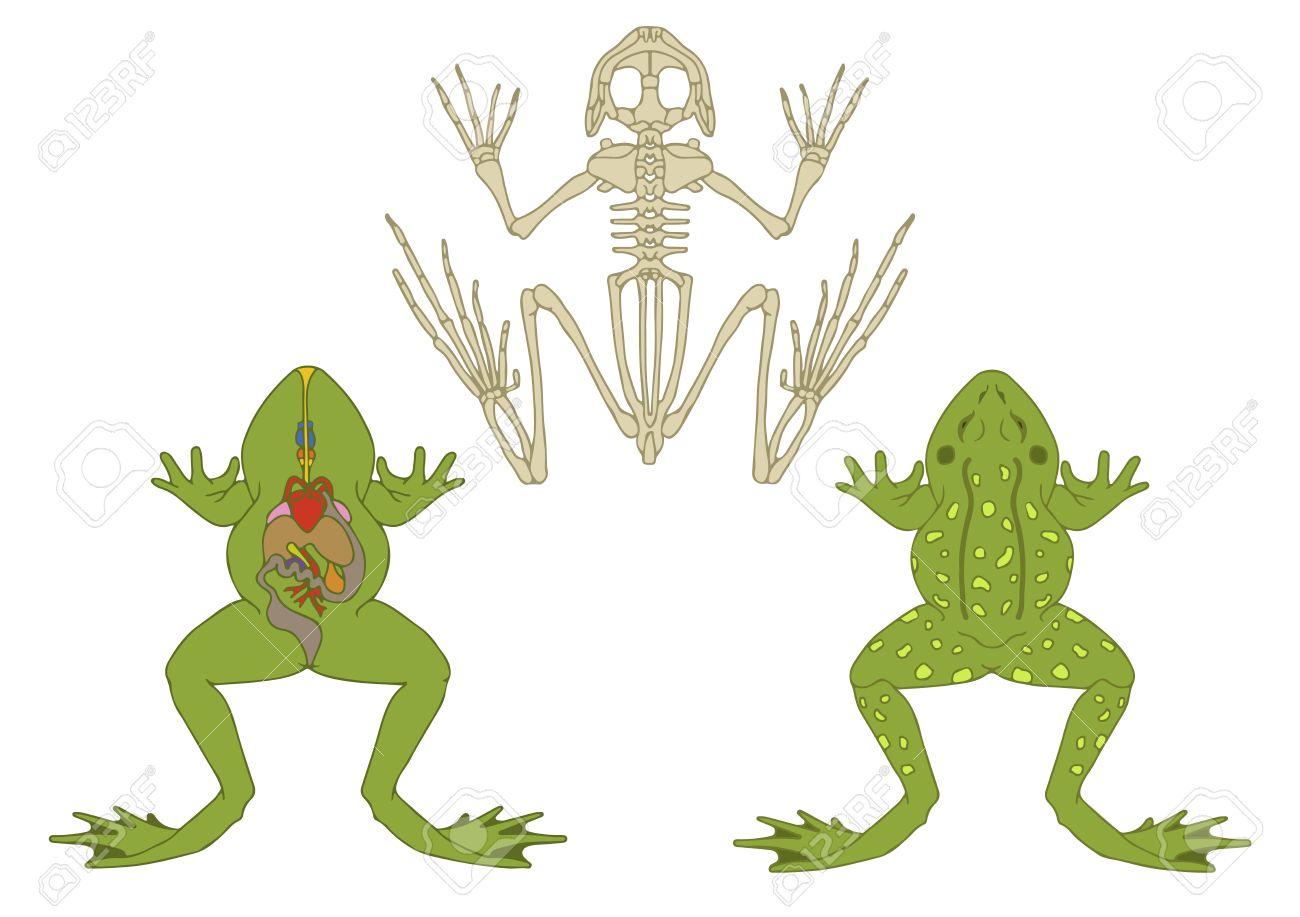 動物、両生類、断面、骨格の解剖...