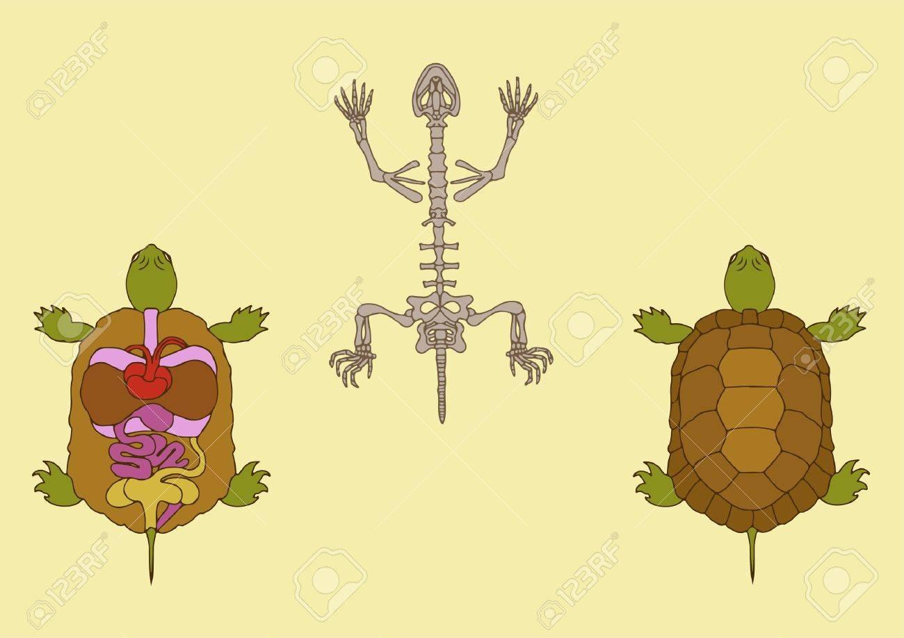 Zoología, La Anatomía Del Reptil, Sección Transversal Y El Esqueleto ...