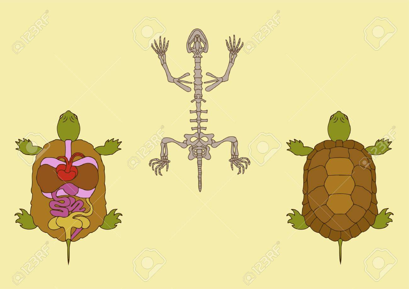 Zoology, Anatomy Of Reptile, Cross-section And Skeleton Royalty Free ...