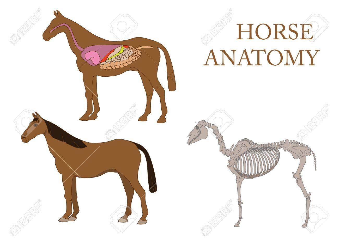 Zoología, Anatomía Del Caballo, La Sección Transversal Y El ...