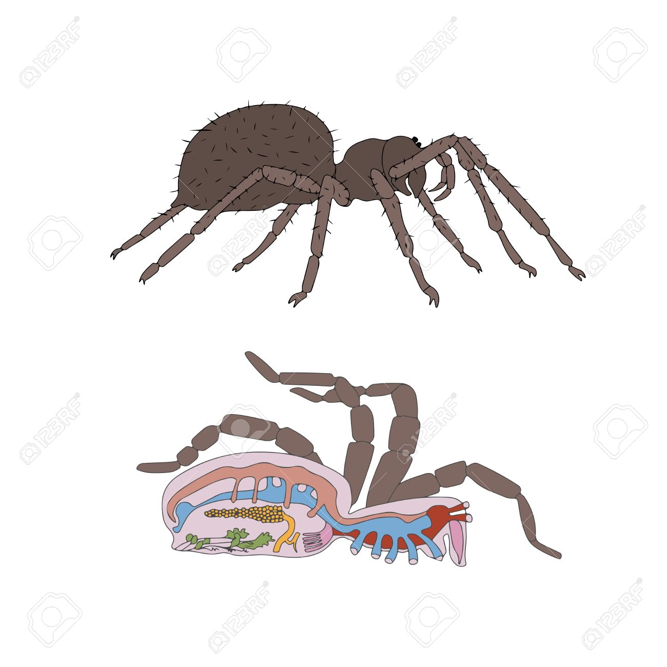 Zoology, Anatomy, Morphology, Cross-section Of Spider Royalty Free ...