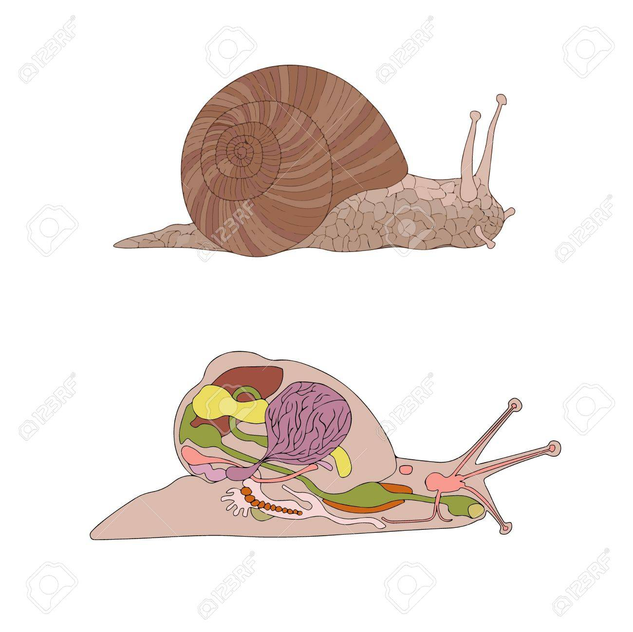Zoology, Anatomy, Morphology, Cross-section Of Snail Royalty Free ...