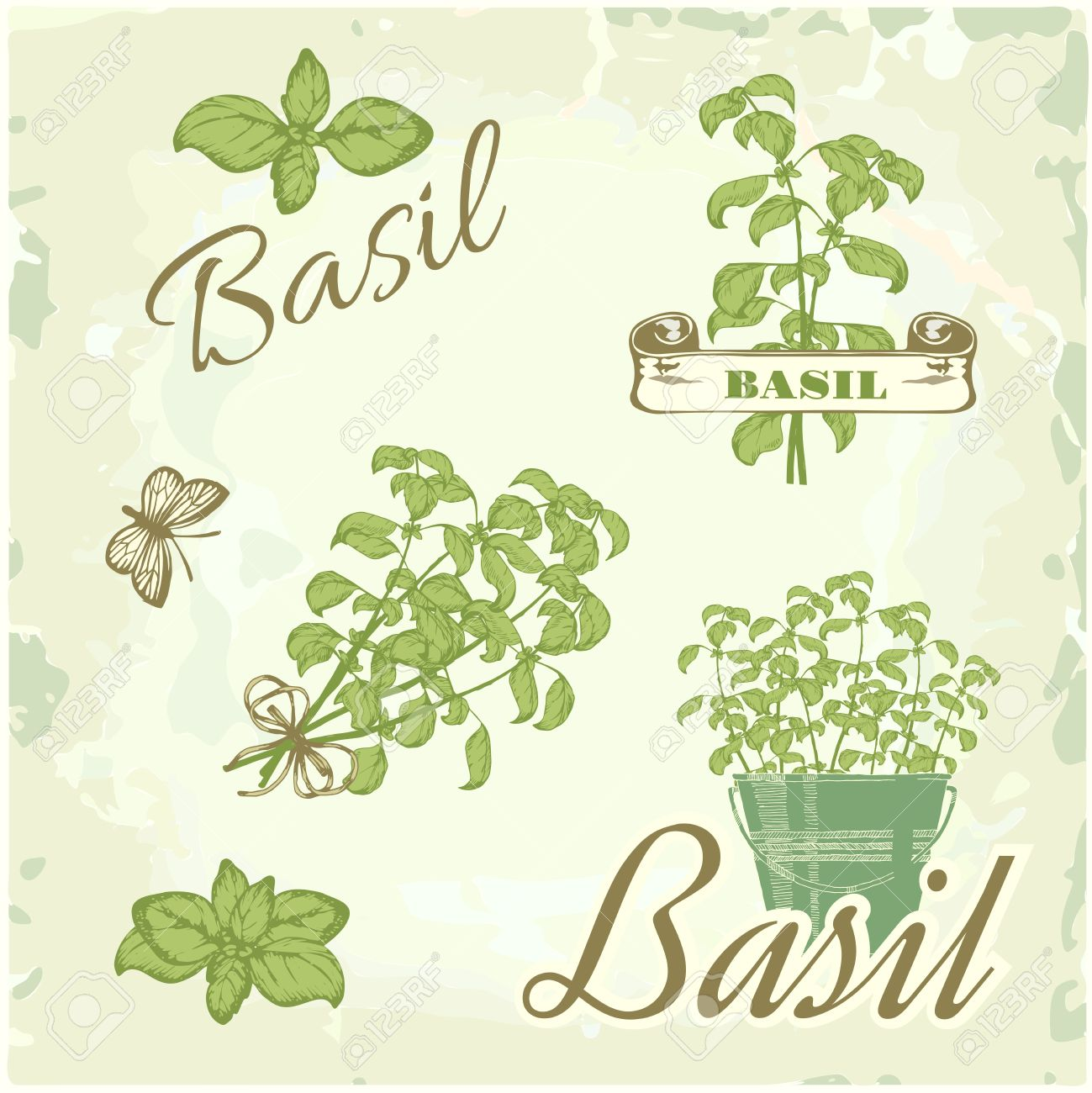 Basil, herb, plant, nature, vintage background, packaging calligraphy - 23075198