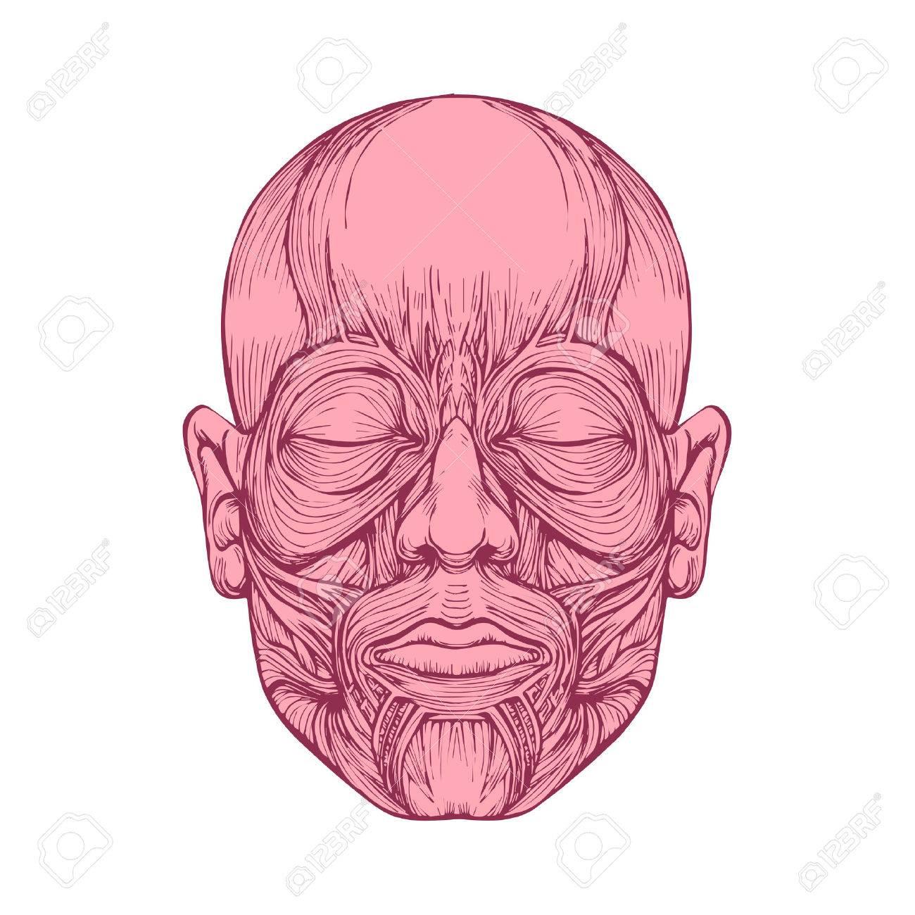 Músculos De La Cara, La Anatomía De La Cabeza Humana, Ilustración ...