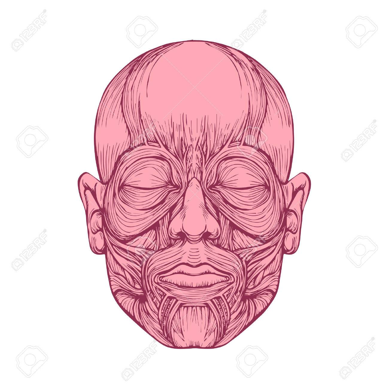 Muscle Of Faces Human Head Anatomy Medical Illustration Royalty