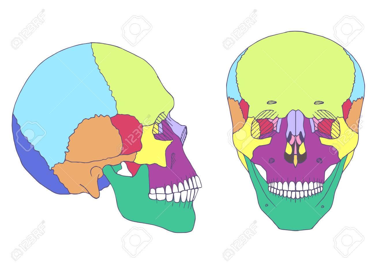 Anatomía Cráneo Humano, Ilustración Médica, Frontal Y Lateral ...