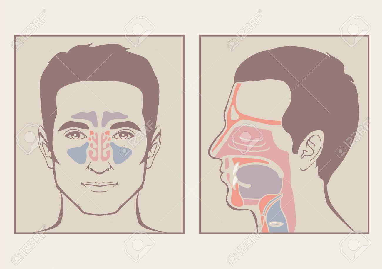 Nez, La Gorge Anatomie, Bouche Humaine, Le Système Respiratoire Clip ...