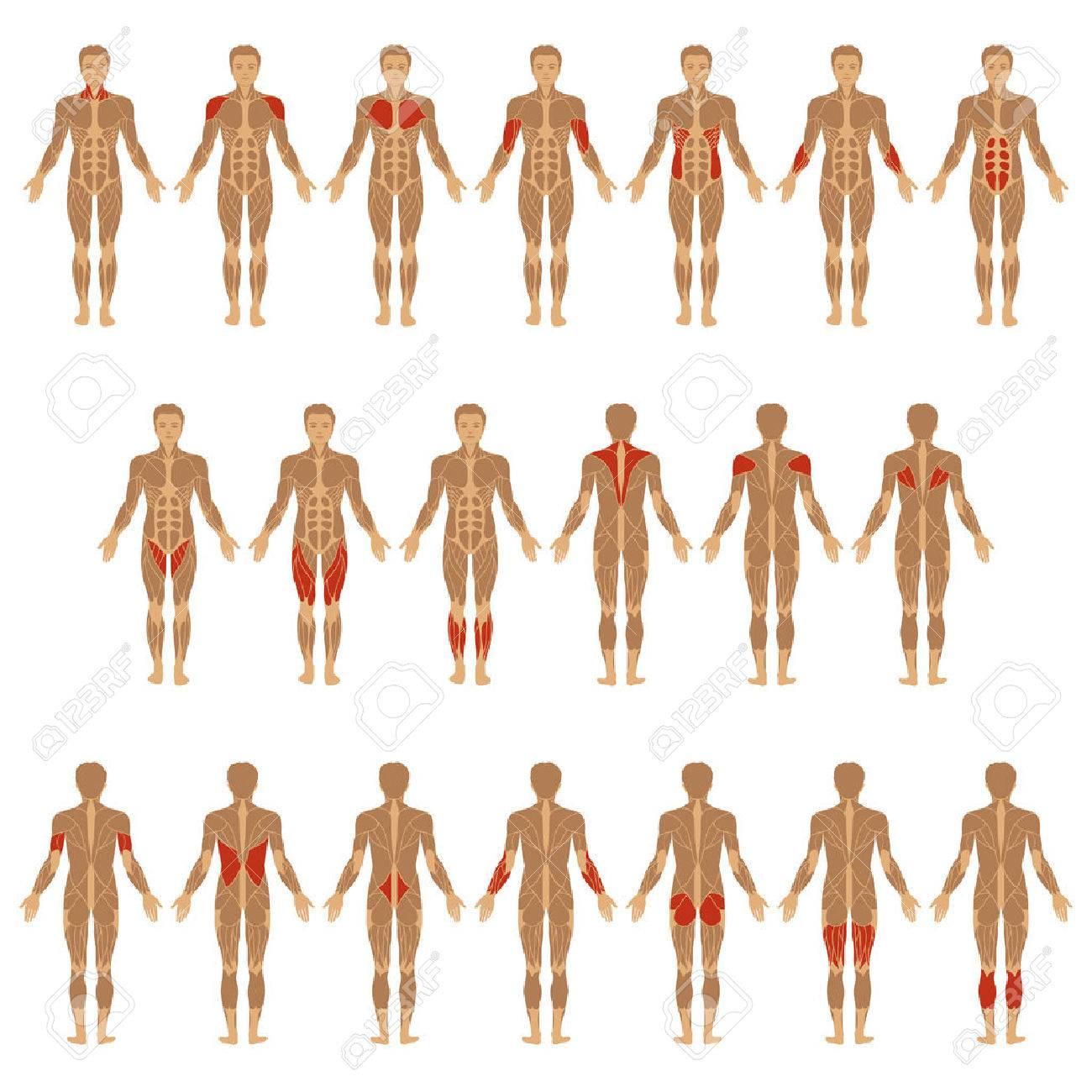 Vector Muscular Human Body, Anatomy Muscle Man, Royalty Free ...