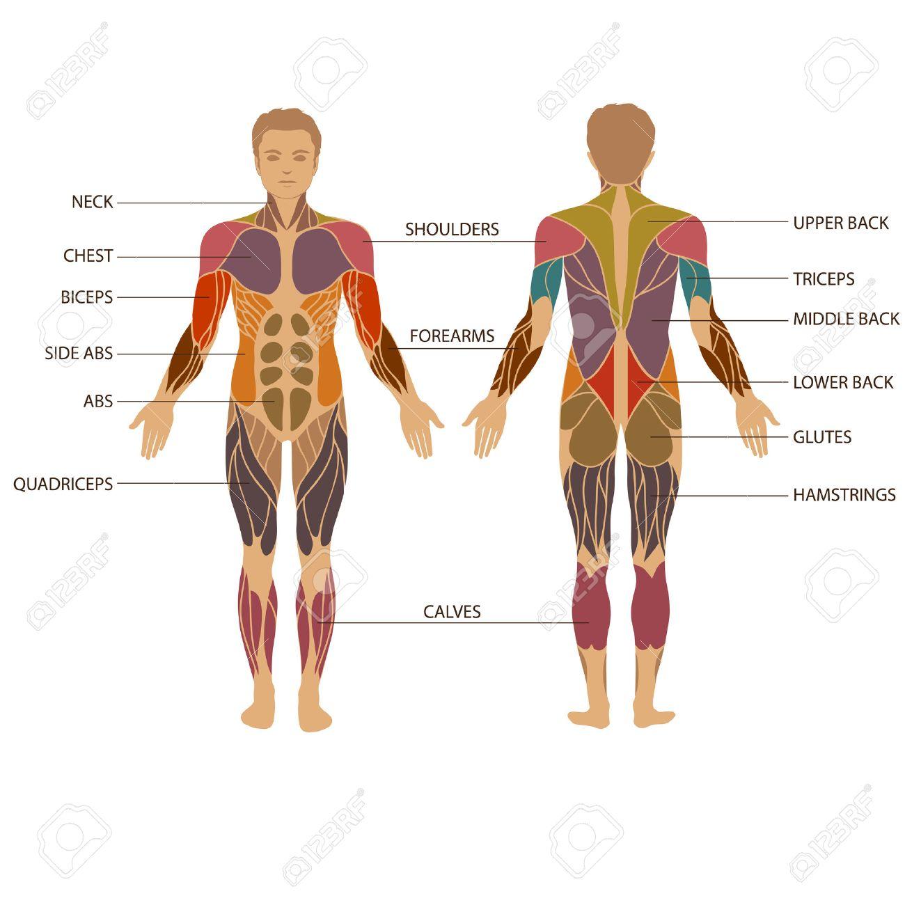 Vector Cuerpo Humano Muscular, Hombre Muscular Anatomía ...