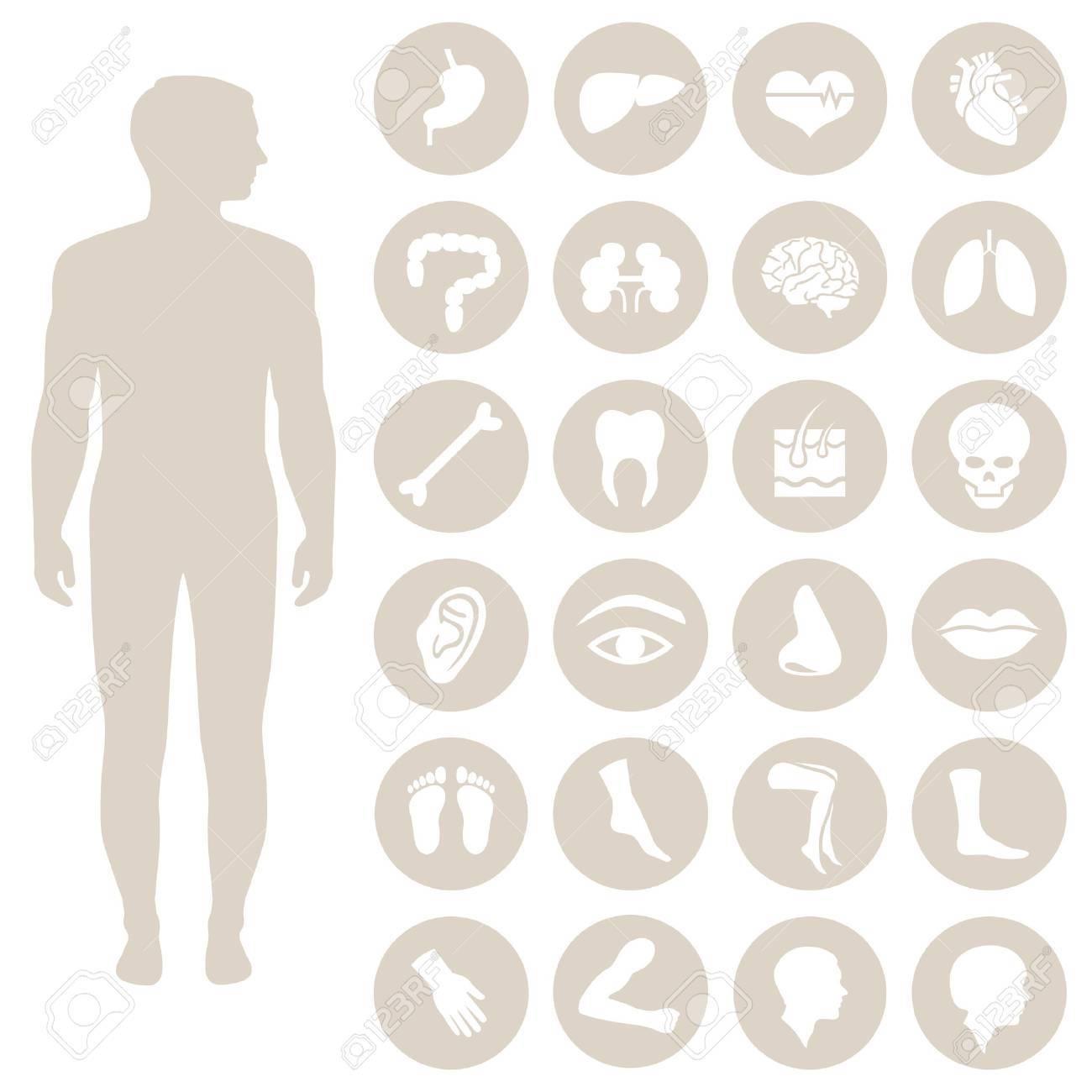 Anatomie Menschlicher Körperteile, Organe Vector Medizinische Symbol ...