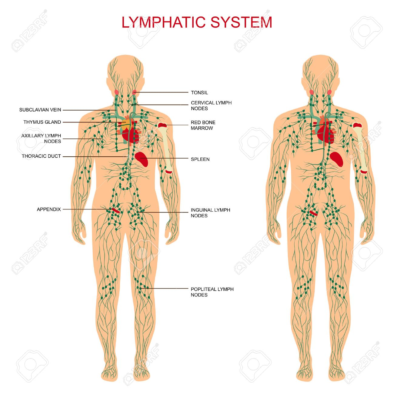 Human Anatomy, Lymphatic System, Medical Illustration, Lymph ...