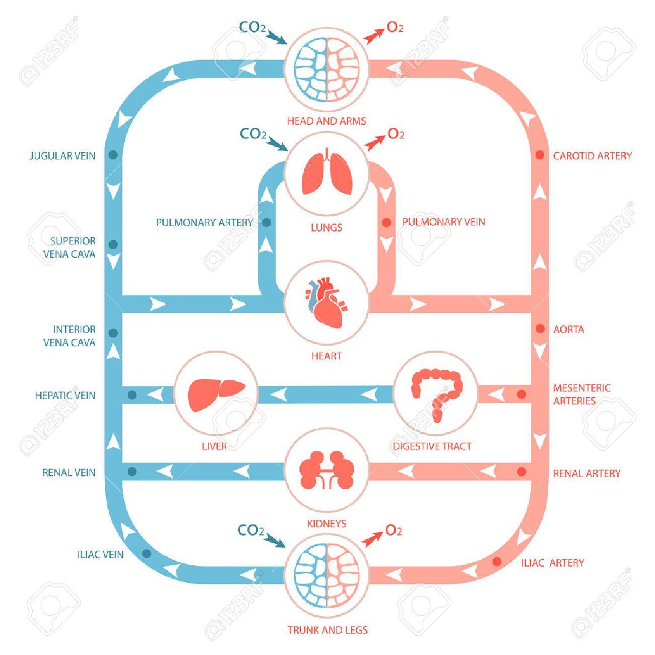 心臓の解剖学、循環システム、ヒトの血液の動脈、医療イラスト