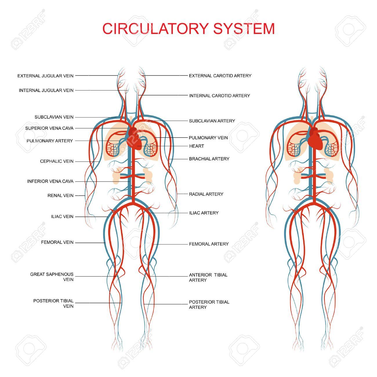 Heart Anatomy, Circulatory System, Human Blood Artery, Medical ...