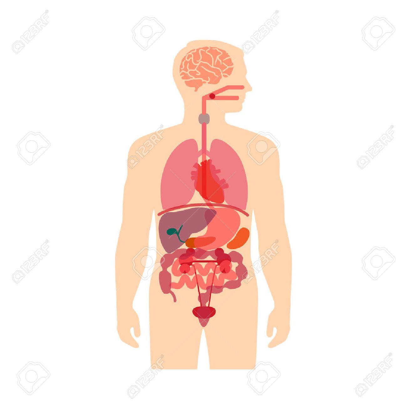 Anatomía Del Cuerpo Humano, Médico Sistema De Vector De órganos ...