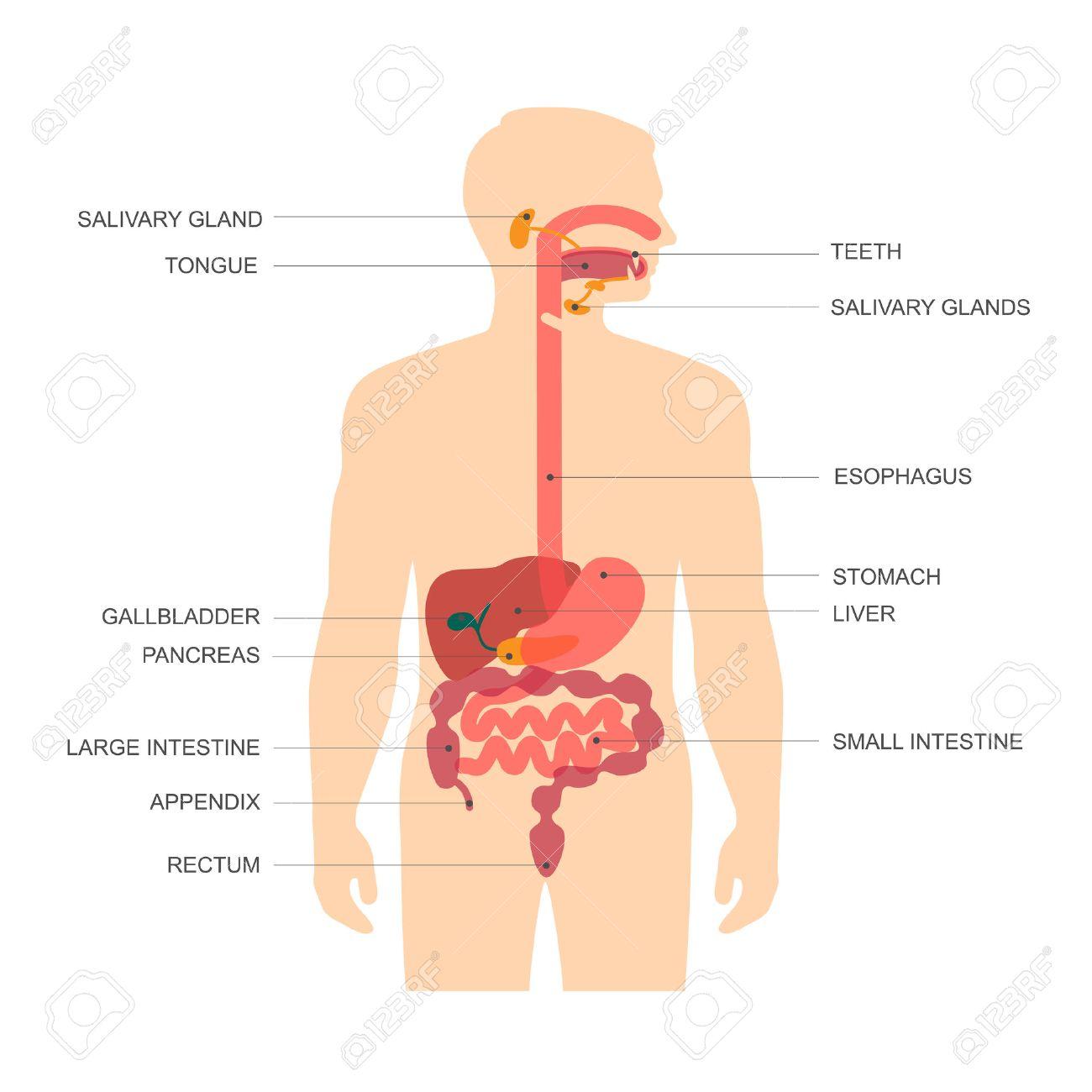 Anatomía Del Sistema Digestivo Humano, Ilustración Vectorial ...