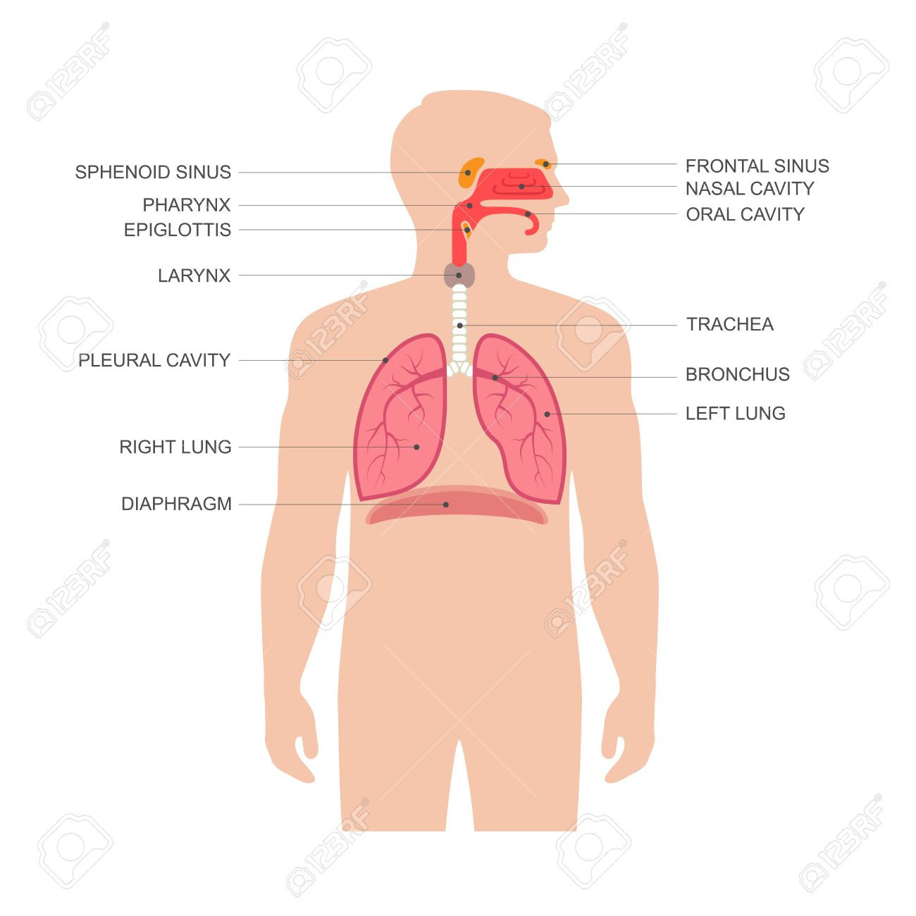 Human Respiratory System Anatomy Vector Illustration Medical Nose