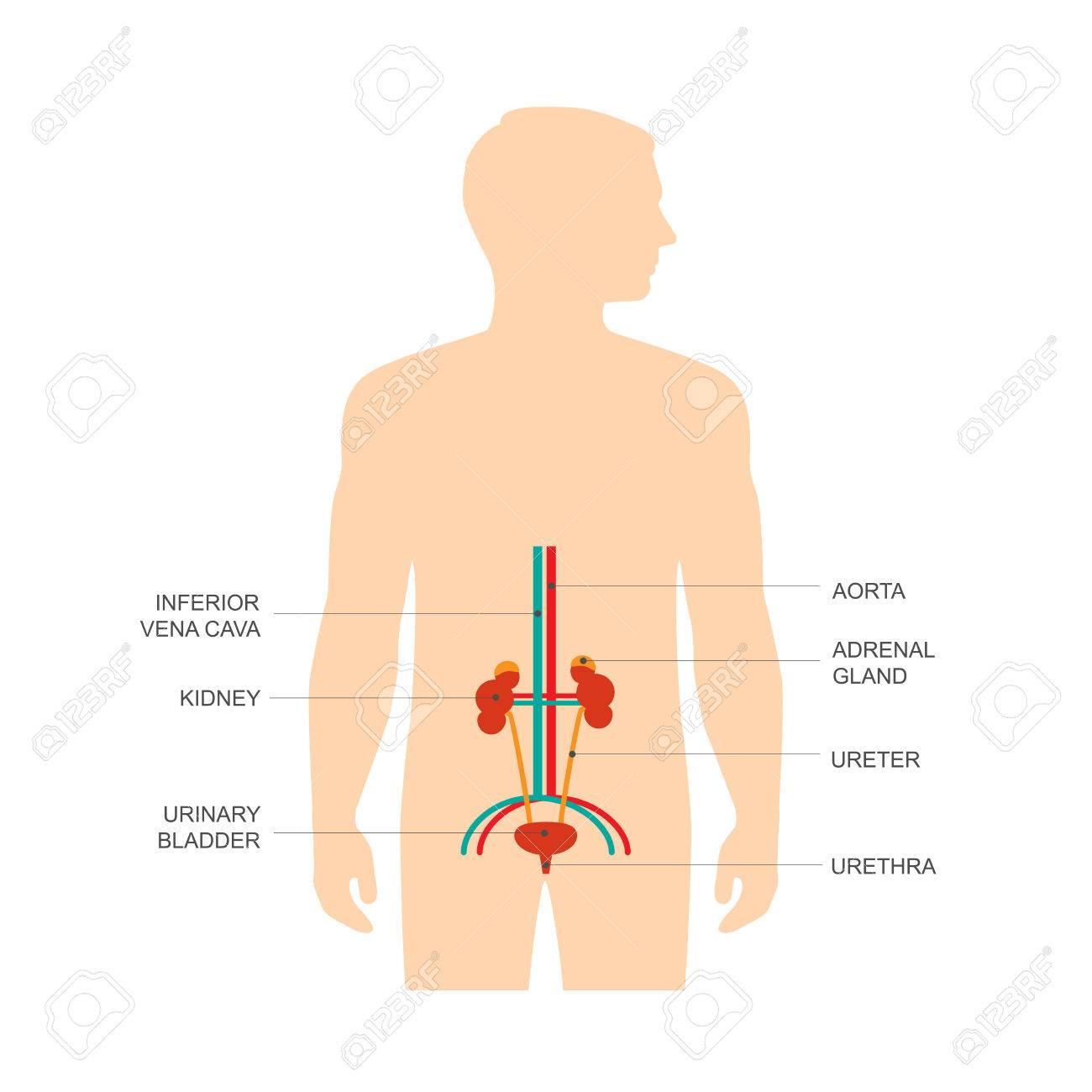 Anatomía Del Sistema Urinario Humano, Ilustración Vectorial Riñón ...