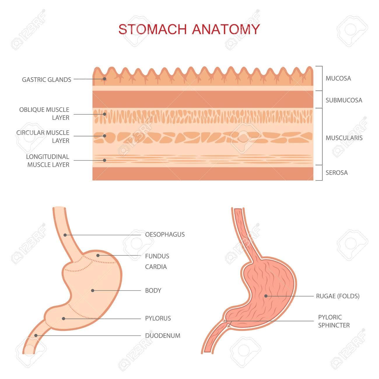 Human Gastric Stomach Digestive System Anatomy Medical Illustration
