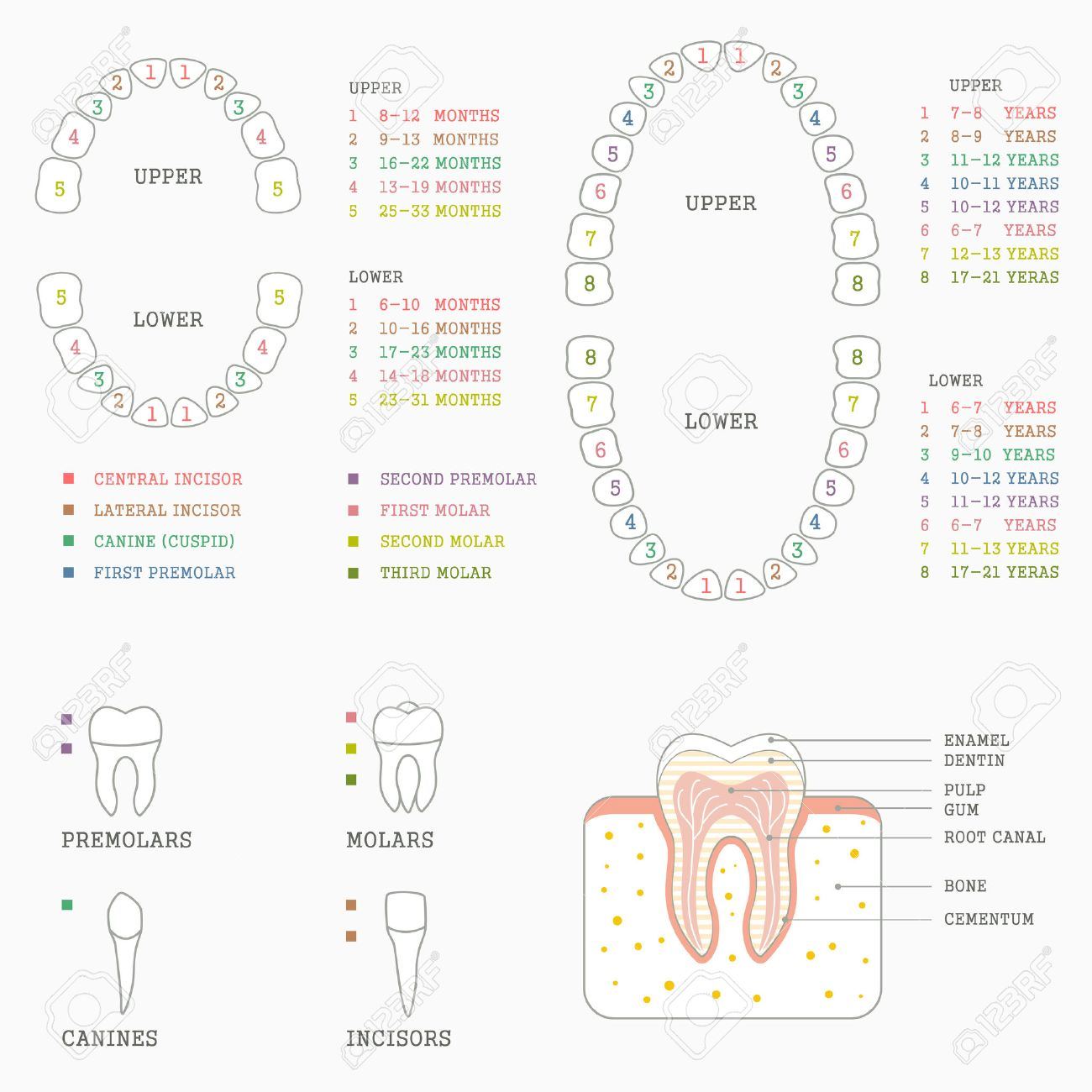 Human Tooth Anatomy Chart Diagram Teeth Illustration Royalty Free ...