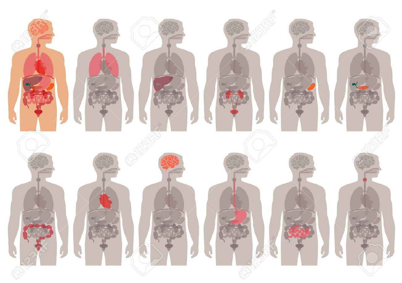 Sistema De órganos Médicos Anatomía Vector Cuerpo Humano ...