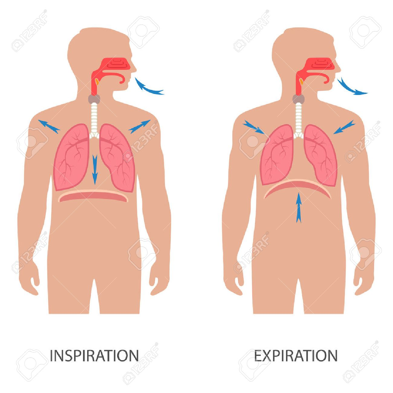 ベクトル呼吸器系の解剖学、人体の横隔膜呼吸 ロイヤリティフリー