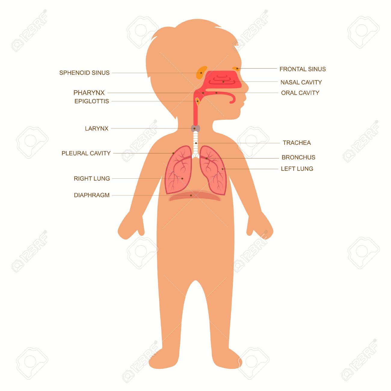 Anatomía Del Sistema Respiratorio Humano, Vector Médica Infantil ...