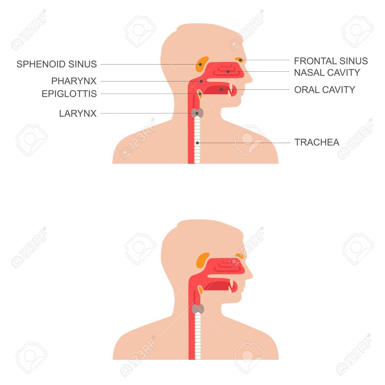 Anatomie Gorge nez, la gorge anatomie, bouche humaine, le système respiratoire clip