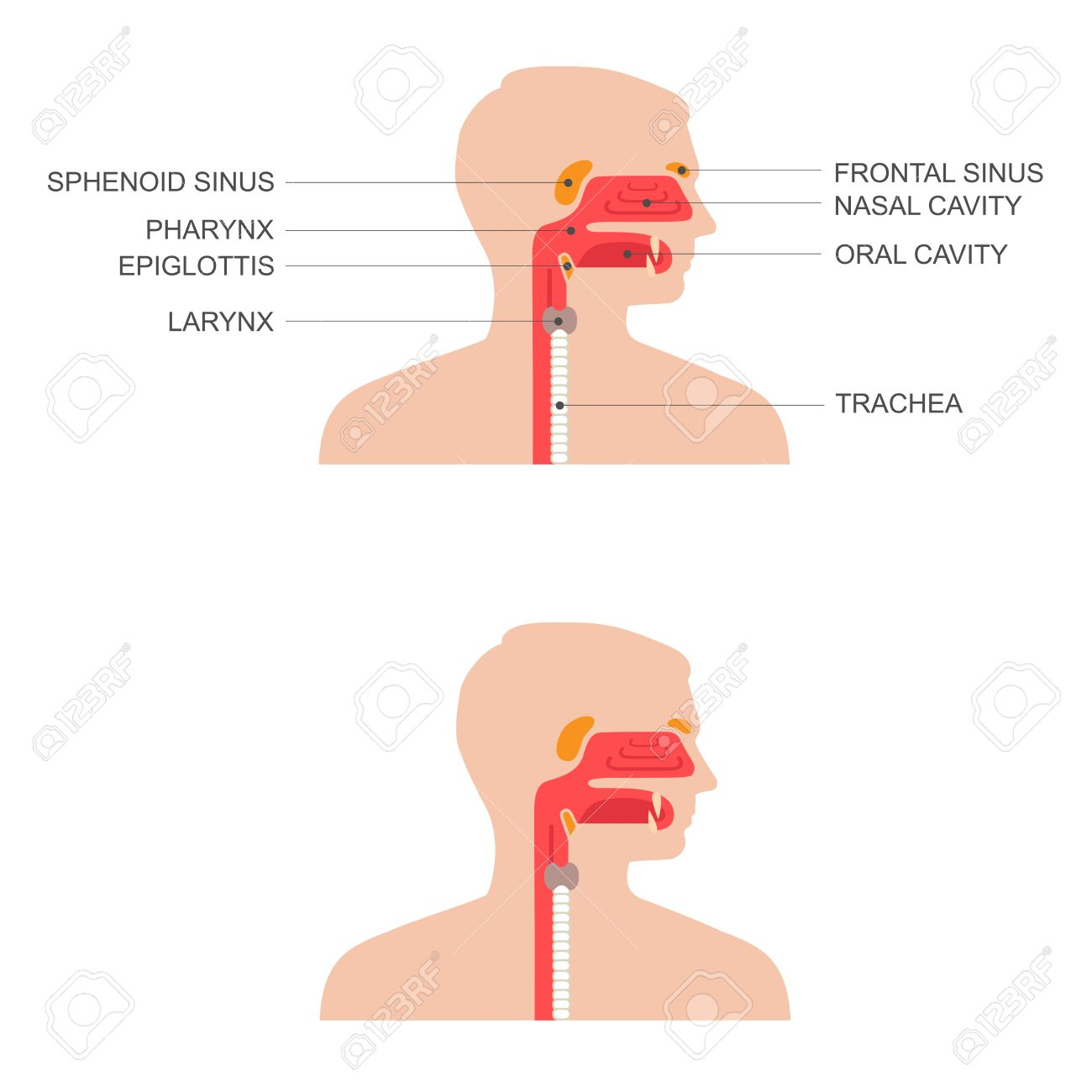Nose, Throat Anatomy, Human Mouth, Respiratory System Royalty Free ...