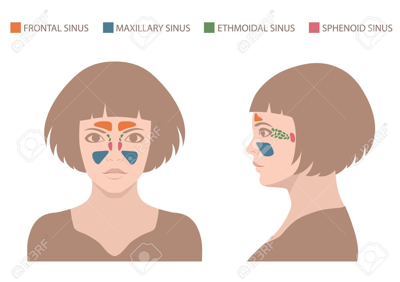Vector Illustration Nose, Sinus Anatomy, Human Respiratory System ...