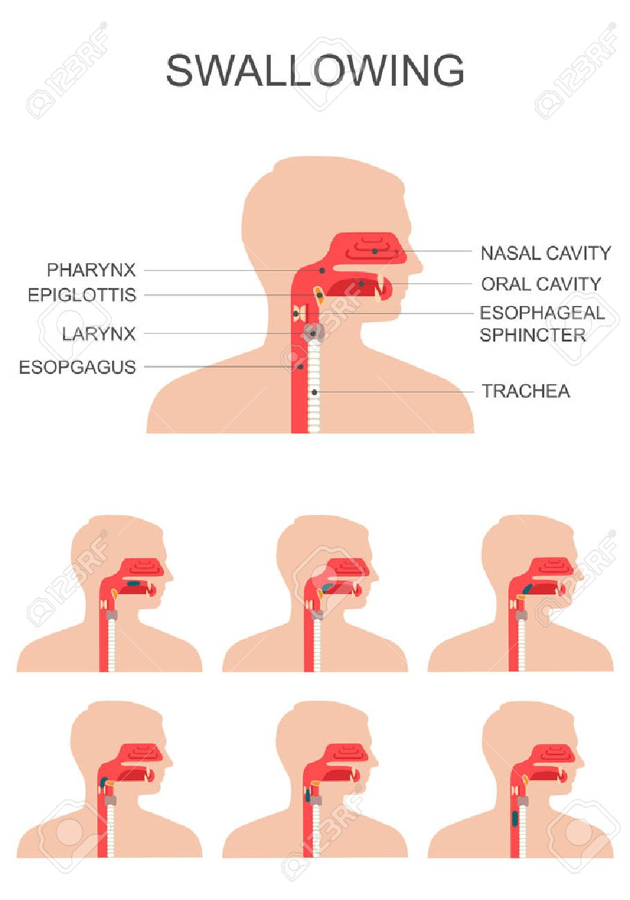 Swallowing Process, Nose Throat Anatomy, Medical Illustration ...