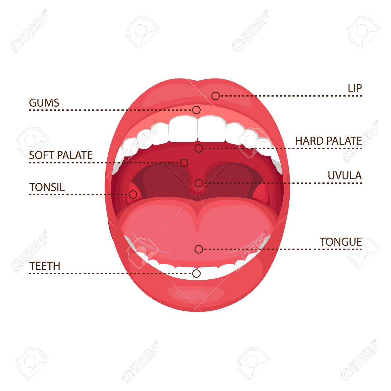 A Vector Illustration Of A Human Open Mouth Anatomy. Medical ...