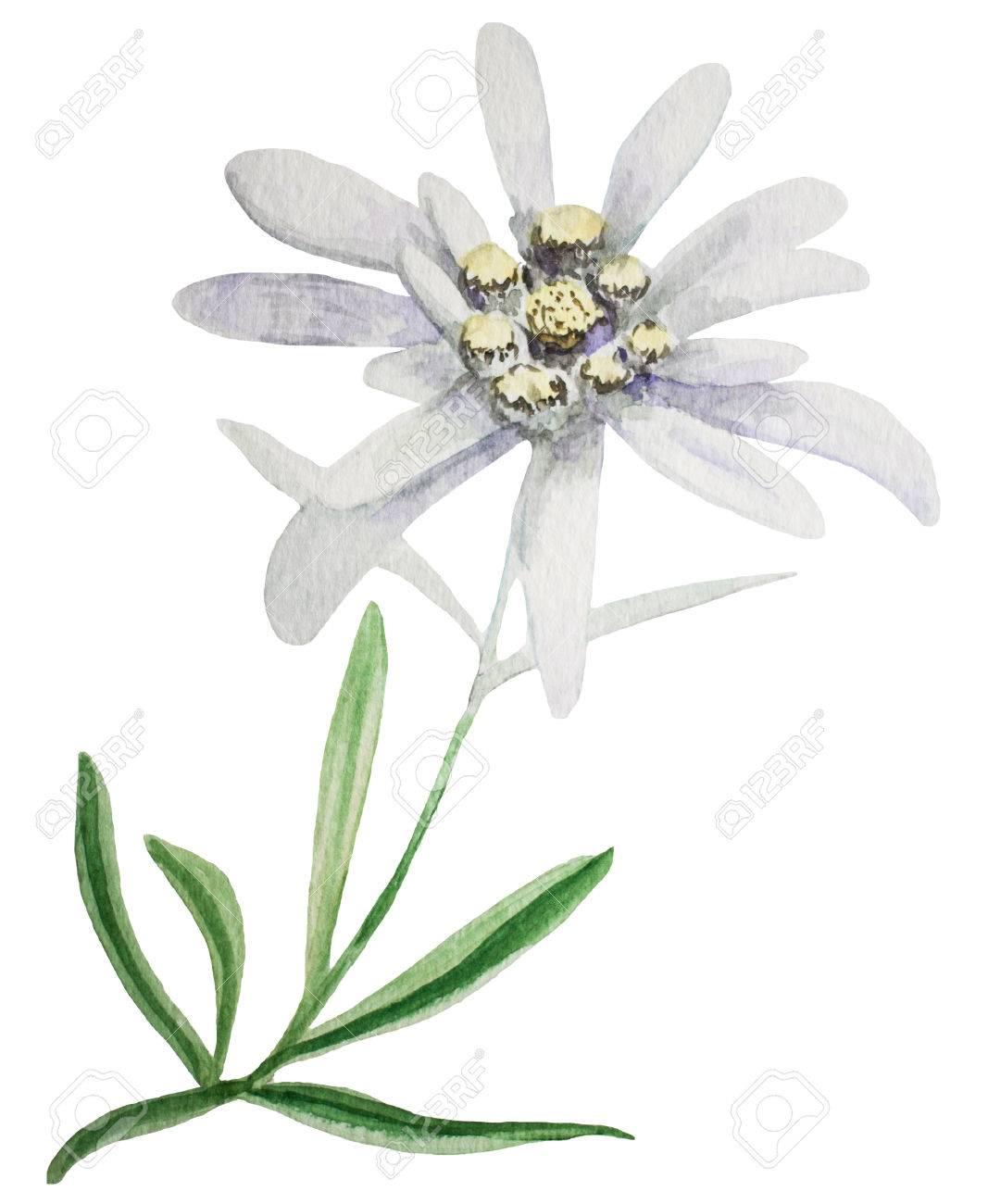 Fleur Edelweiss Handmade Illustration Peinture A L Aquarelle Sur Un