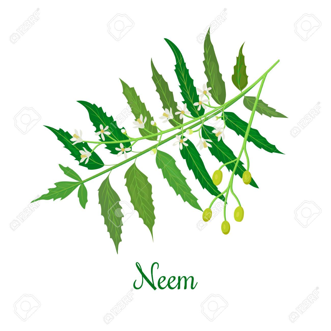 Neem Or Nimtree Medicinal Plant Twig Flowers And Berries Royalty
