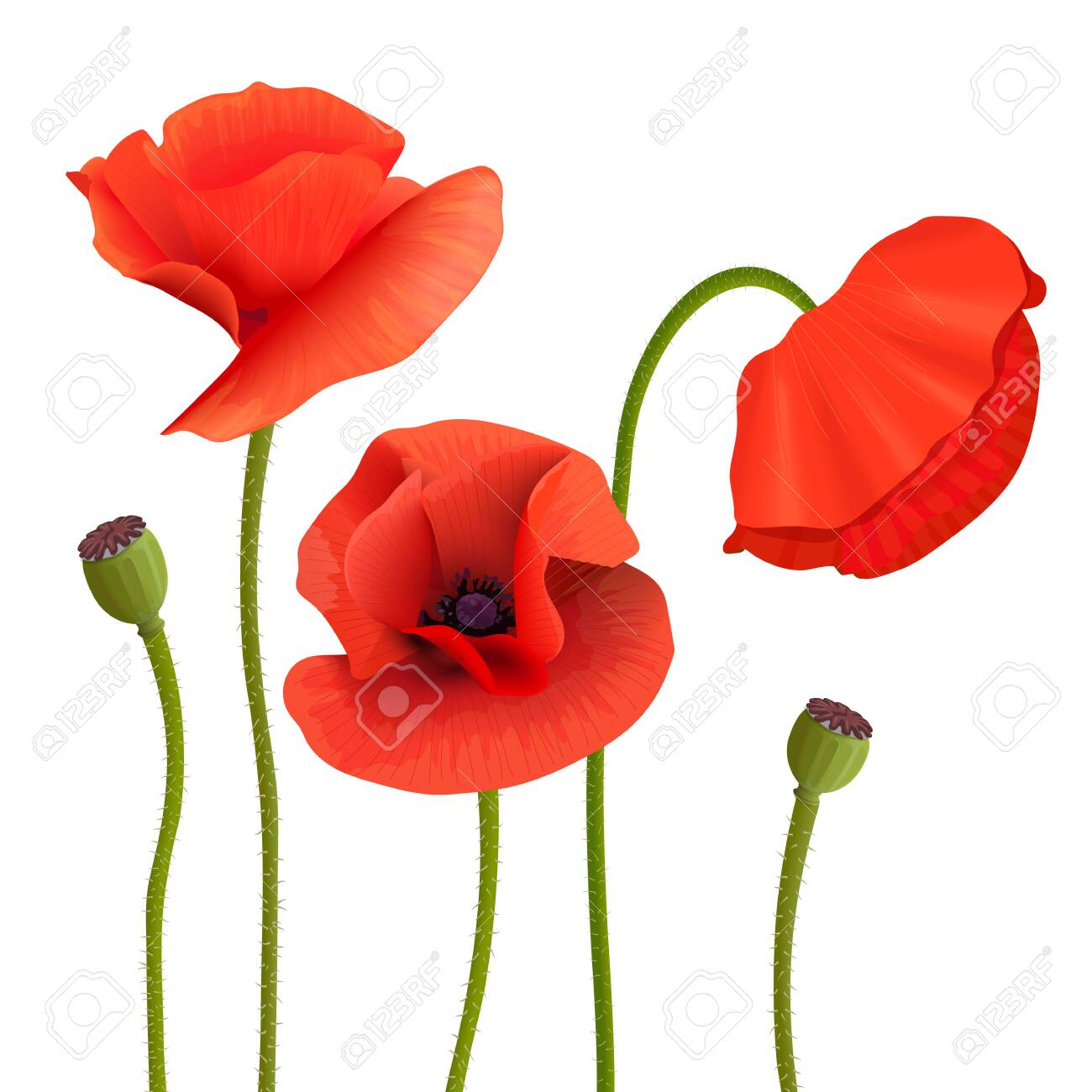 Bright Red Poppies Flowers Pods Stems Wallpaper Picture