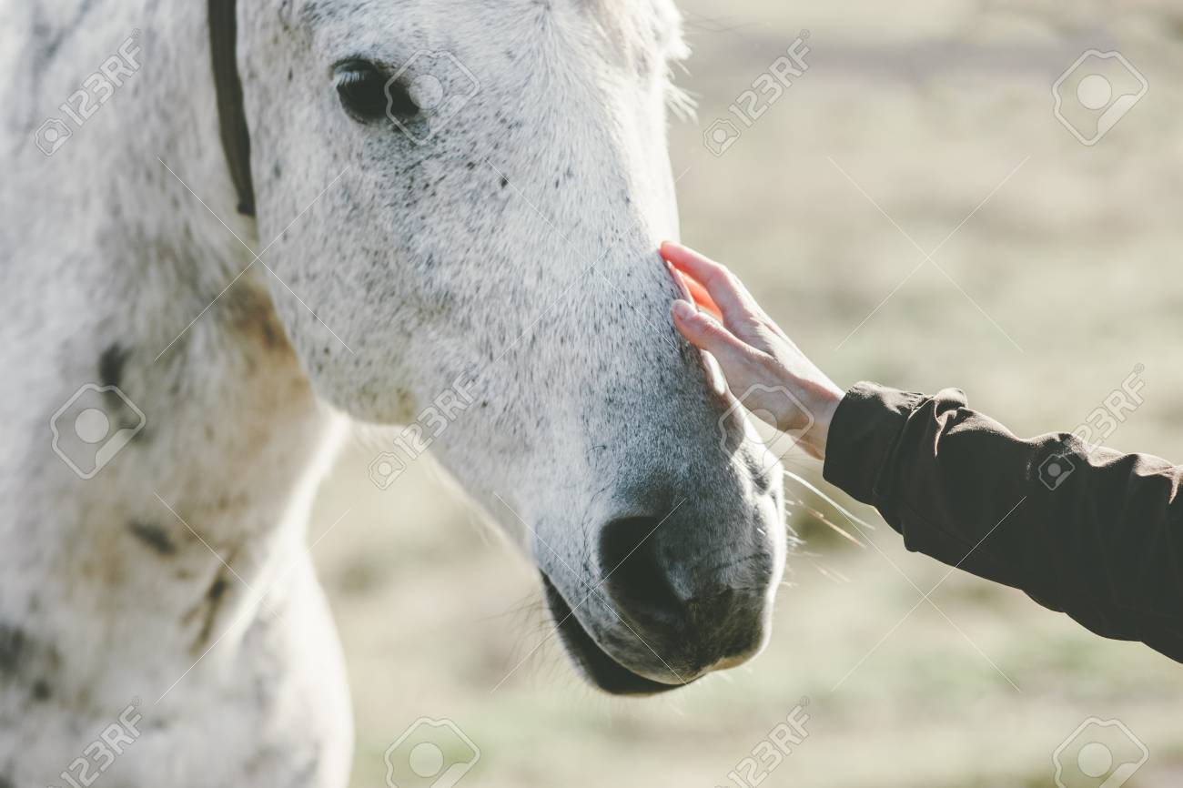 White Horse Head Hand Touching Lifestyle Animal And People Friendship Stock Photo Picture And Royalty Free Image Image 88299806