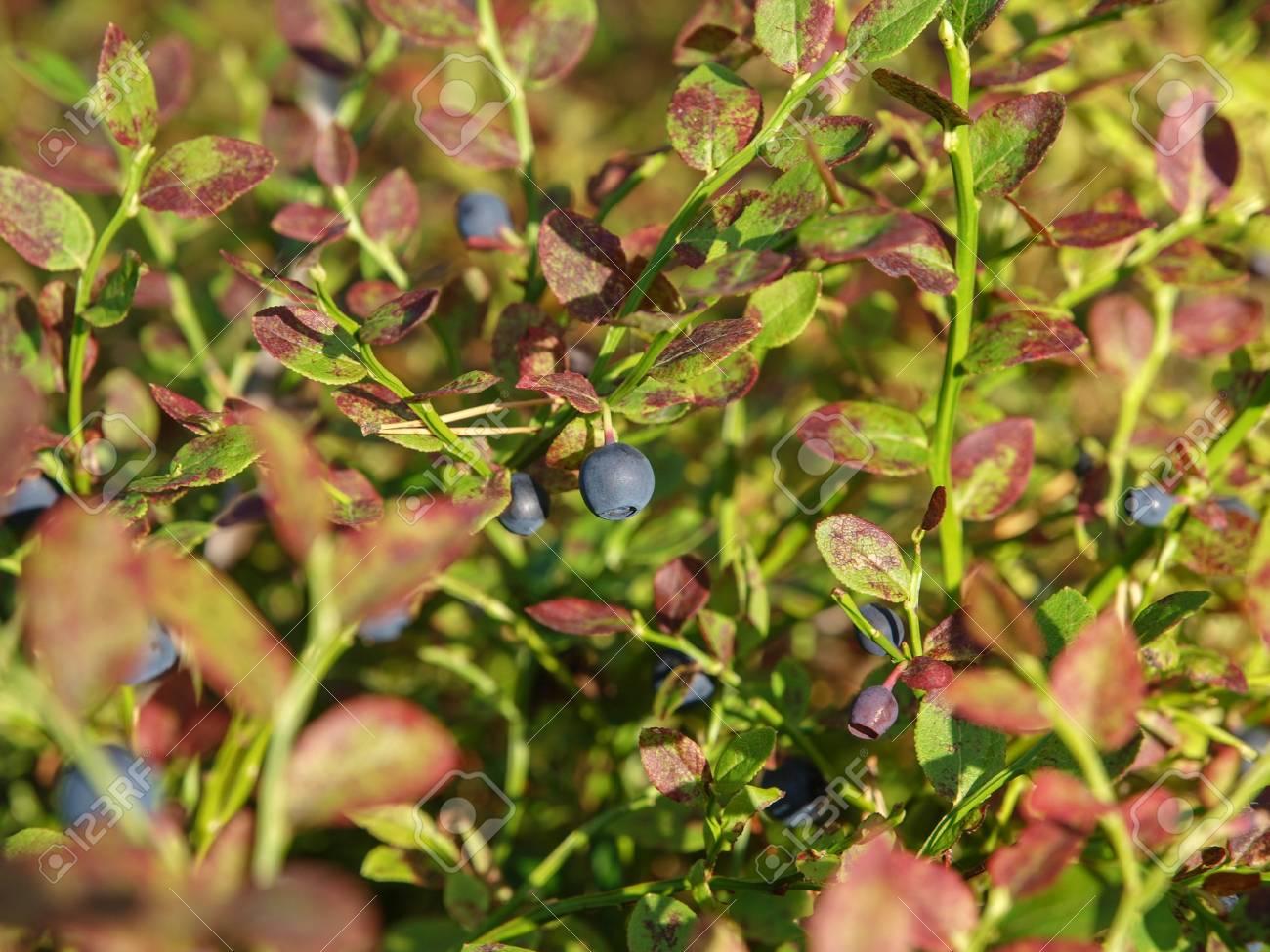 Images Of Wild Blueberry Bushes