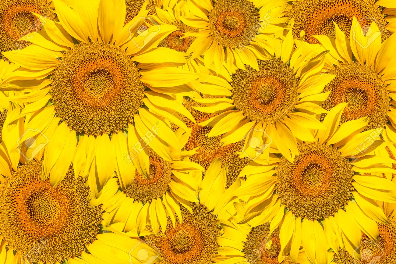 Pattern of bright yellow sunflowers on a white isolated background pattern of bright yellow sunflowers on a white isolated background an unripened sunflower with a mightylinksfo