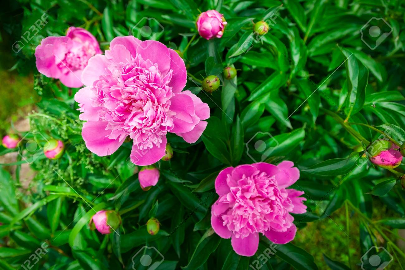 Close Up Of A Beautiful Big Peony Bush With Pink Flowers Stock Photo