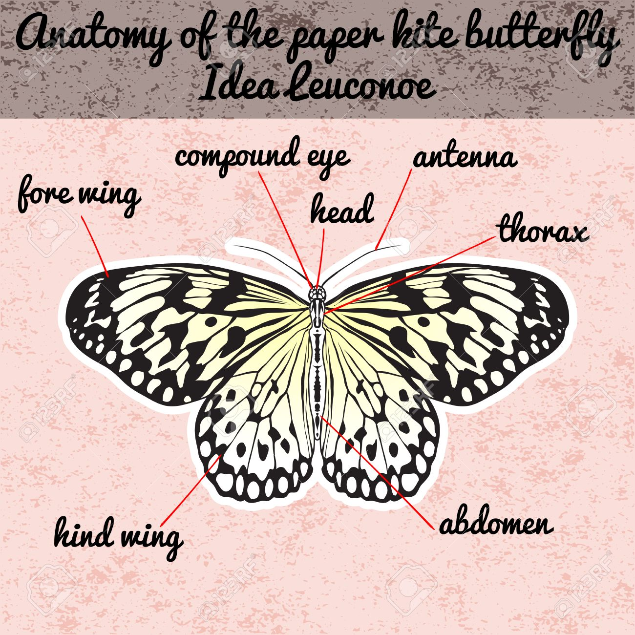 Insect Anatomy. Sticker Butterfly Idea Leuconoe. Rice Paper Kite ...