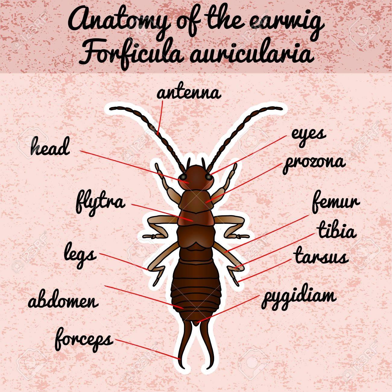 Anatomía De Insectos. Pegatina Forficula Auricularia. Tijereta ...