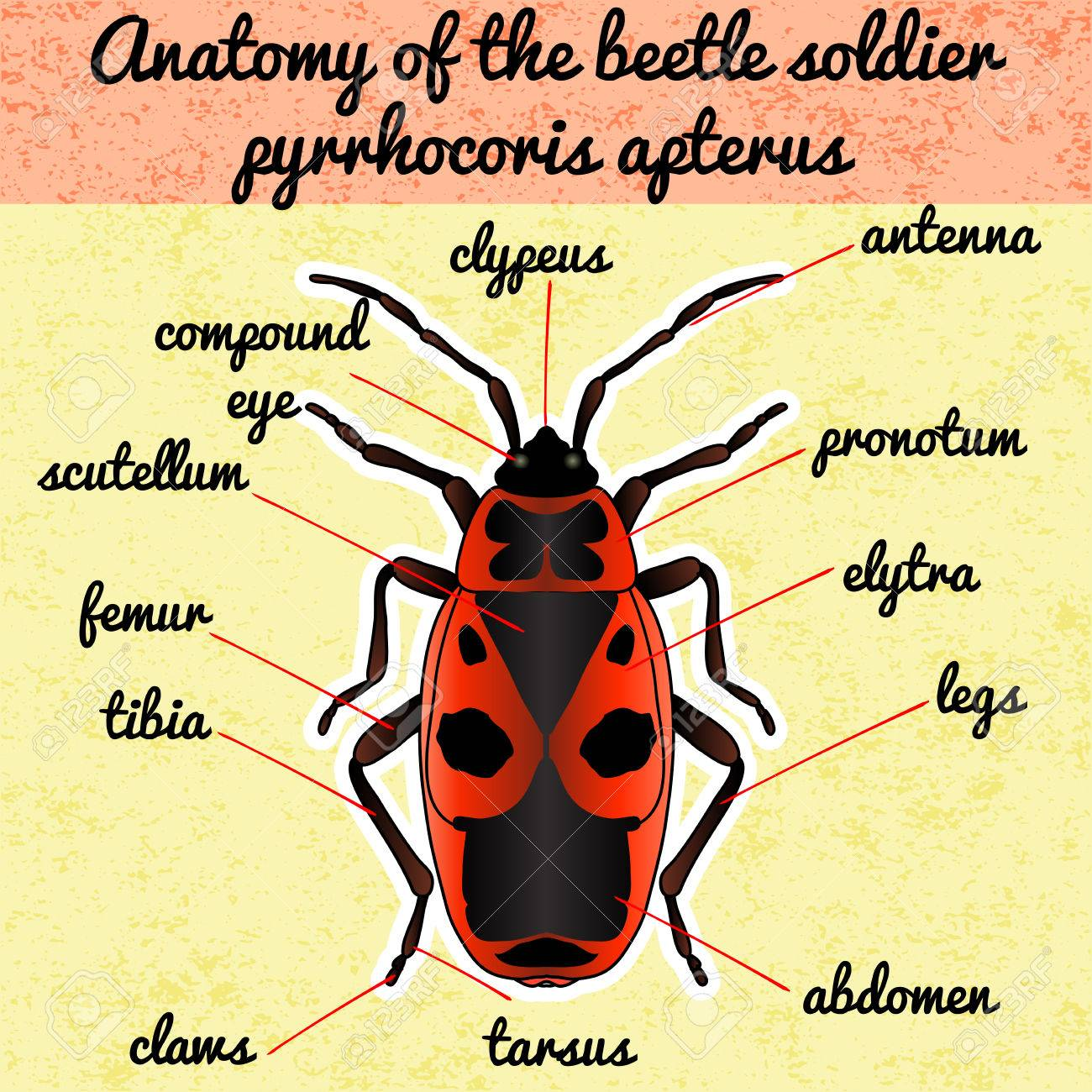 Insect Anatomy. Sticker Pyrrhocoris Apterus. Beetle. Bug-soldier ...