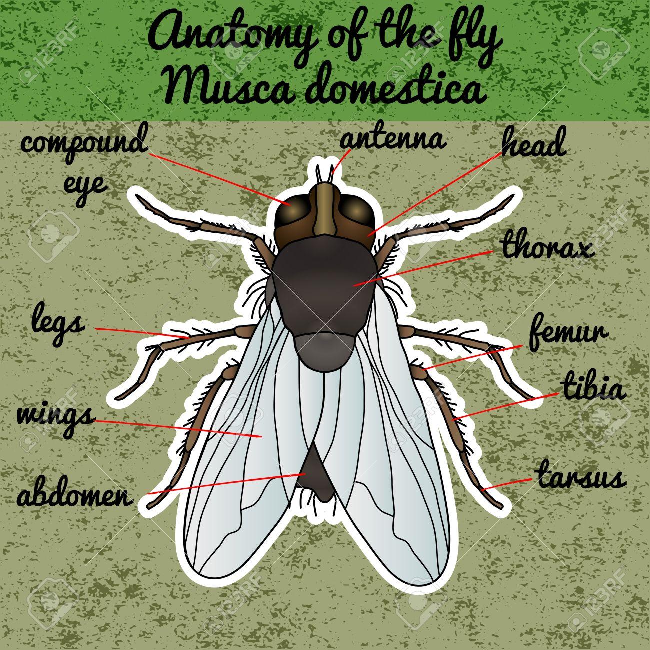 Anatomía De Insectos. Mosca Pegatina. Musca Domestica .. Insectos ...