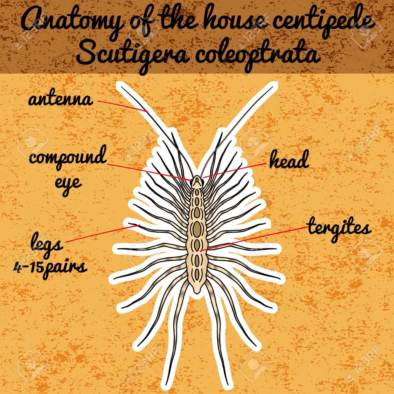 Insect Anatomy Sticker Scutigera Coleoptrata Millipede House