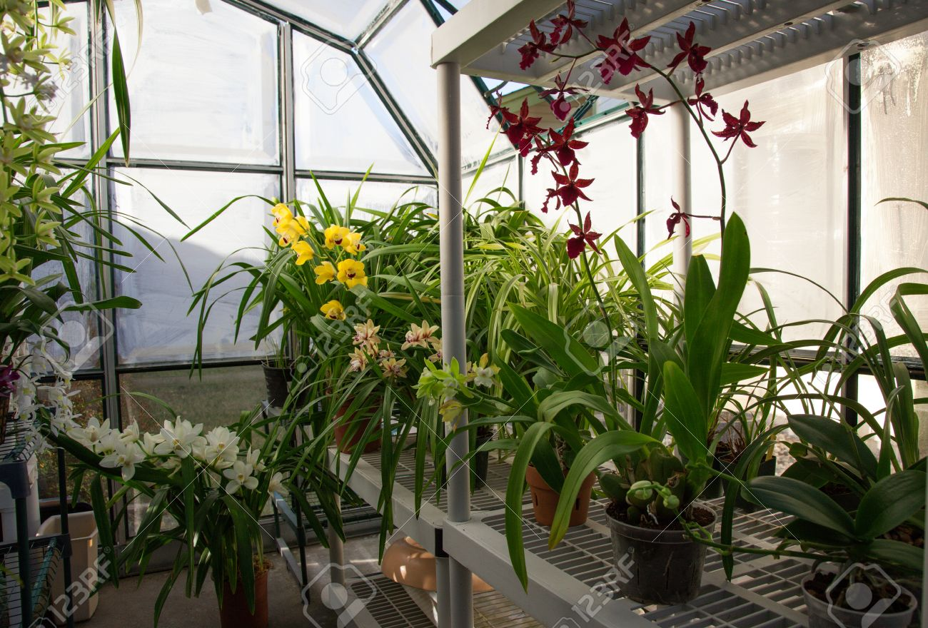hobbist owned backyard garden greenhouse with blooming orchids