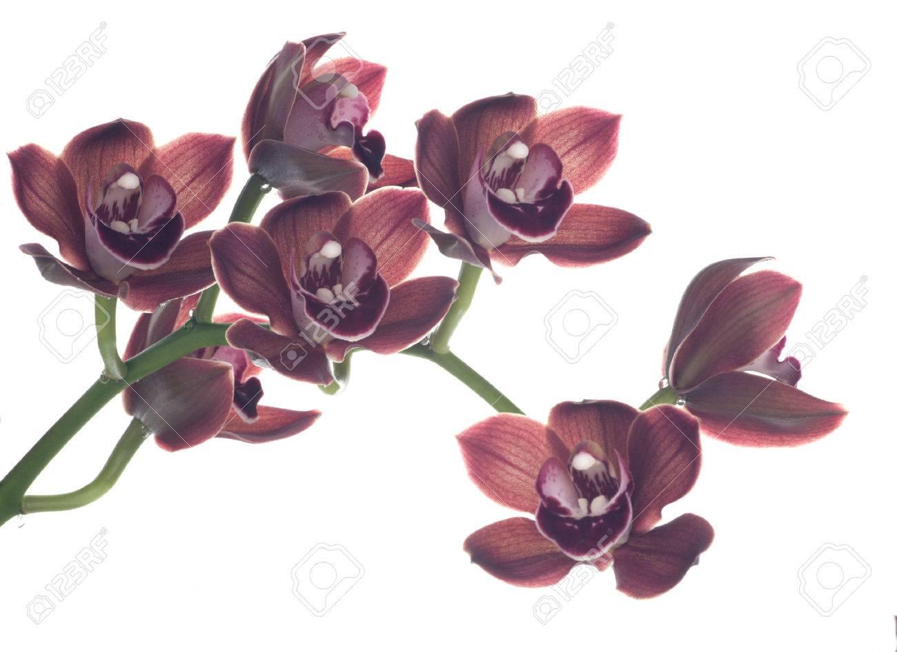 From Aalsmeer Auction Cymbidium Orchid Aquarella Love