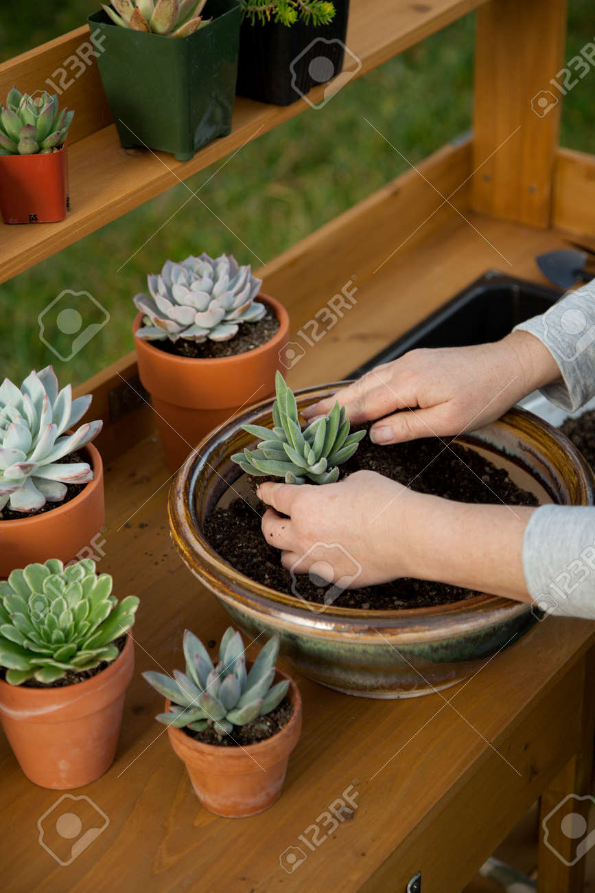 Planting succulent plant into a clay pot at garden bench in a backyard. - 162557500