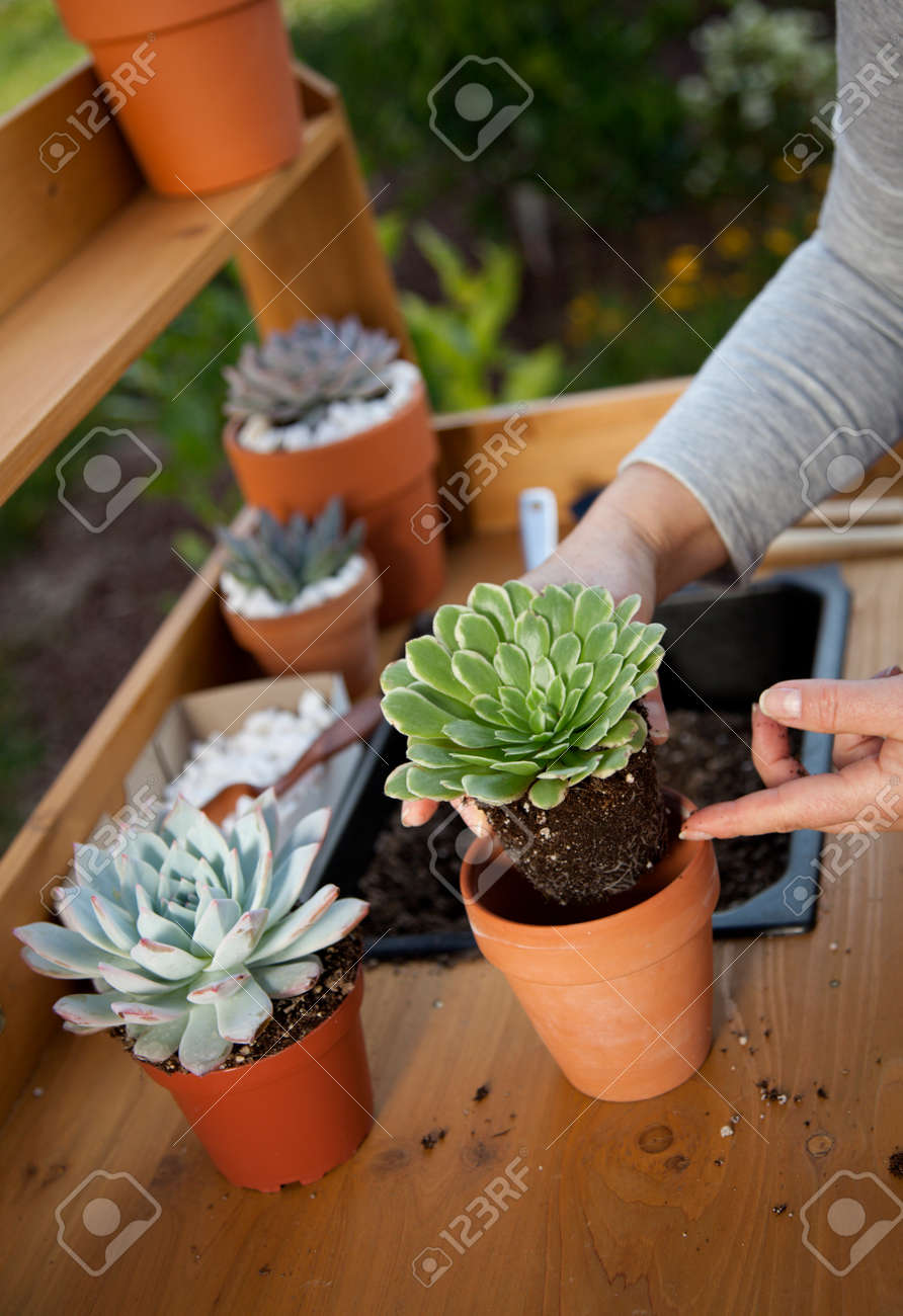 Planting succulent plant into a clay pot at garden bench in a backyard. - 165024012