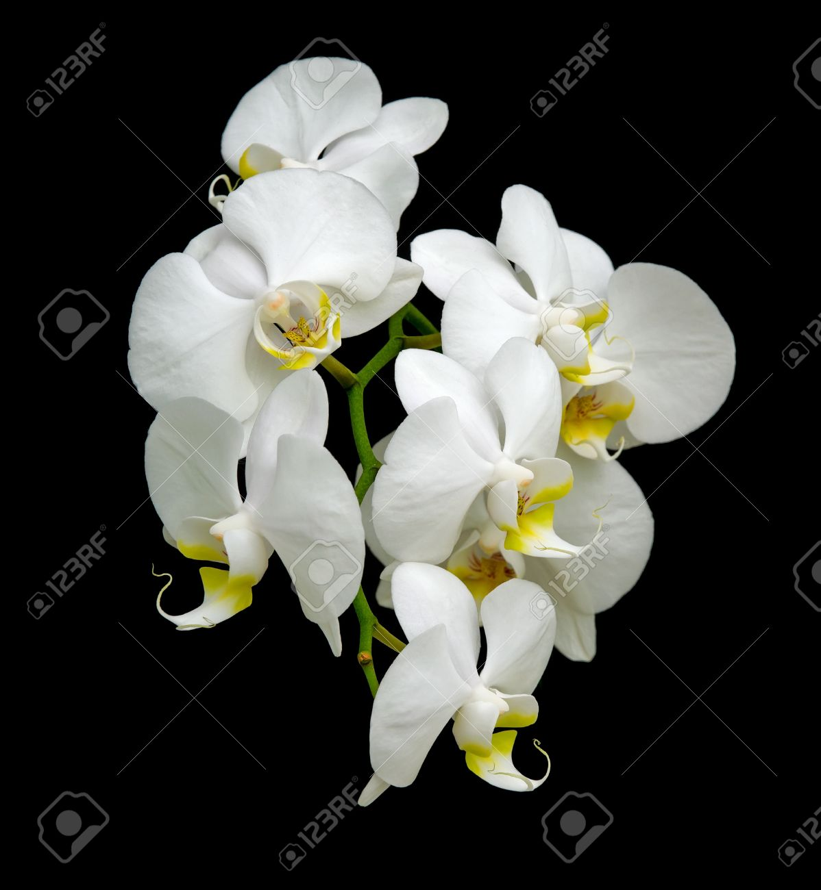 White orchid blooms. Close-up on a black background. Stock Photo - 9571282